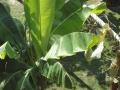 banana17